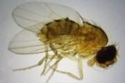 Drosophila melanogaster w.m. female