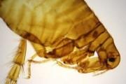 Pulex (flea) w.m. slide