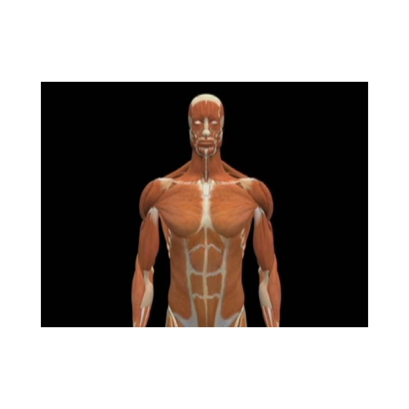Human Body The Muscular System Dvd 30 Minutes