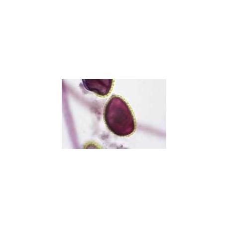 Pollen germination of lily, w.m. slide