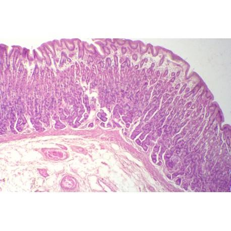 Stomach, fundic region, human t.s.