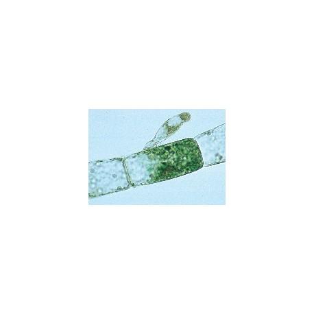 Microscopic Organisms of Freshwater Slide Set
