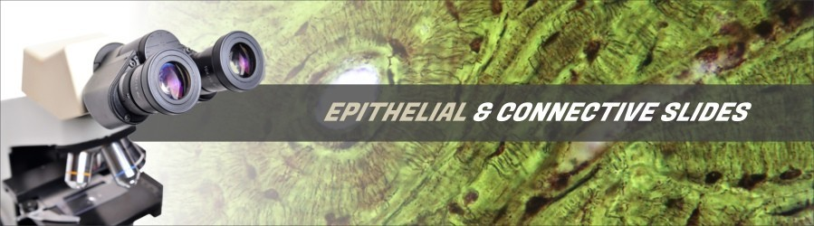 Epithelial & Connective Tissue Slides
