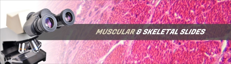 Muscular & Skeletal Tissue Slides