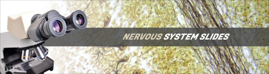 Nervous System Tissue Slides