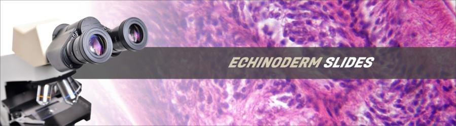 Echinoderm Slides