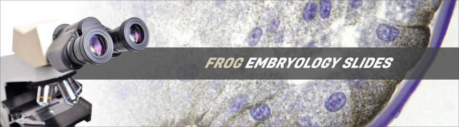 Frog Embryology Slides