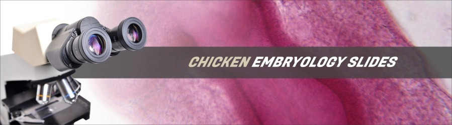 Chicken Embryology Slides