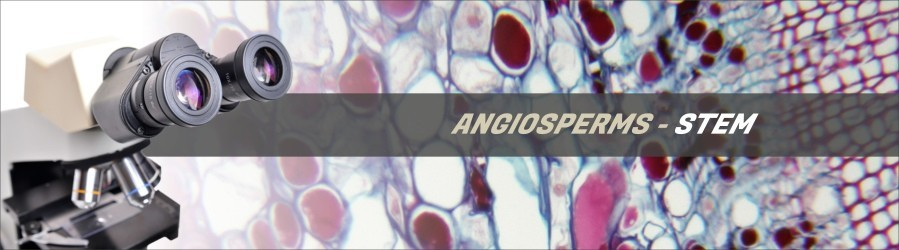 Angiosperms - Stem Slides