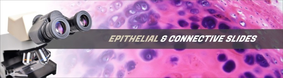 Human Epithelial & Connective Slides