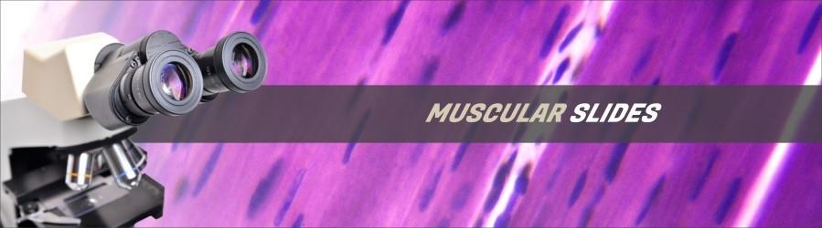 Human Muscular Slides