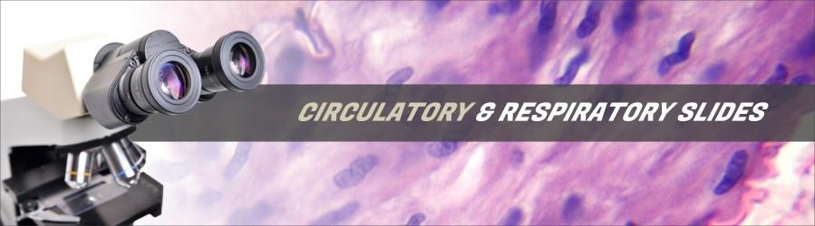 Human Respiratory & Circulatory Slides