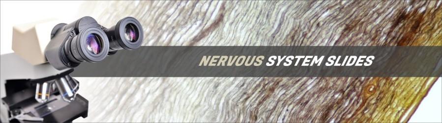 Human Nervous System Slides