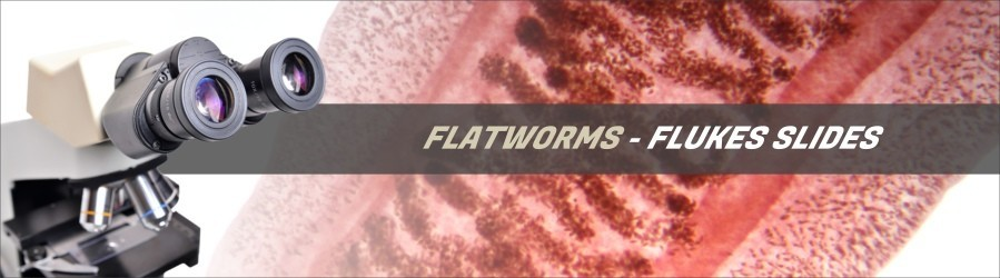 Flatworms - Fluke Slides